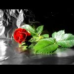 Love Is Not Always A Rose